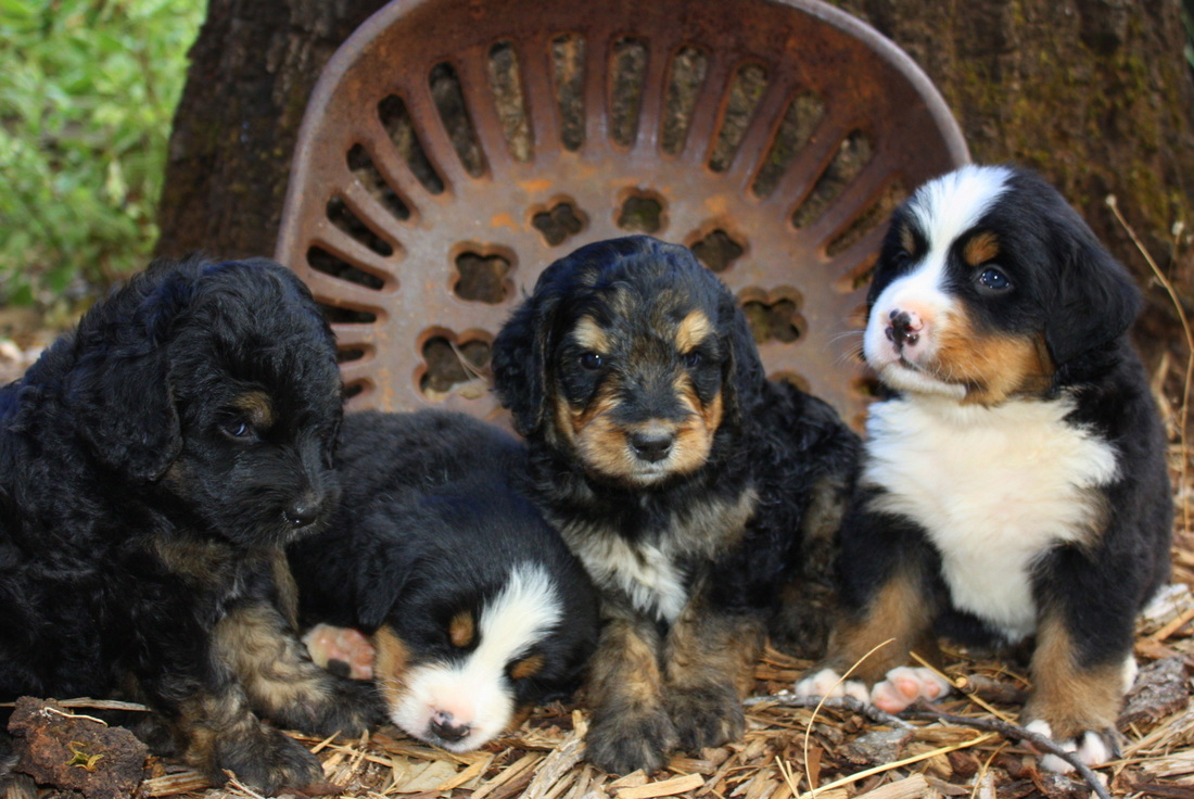 Puppy Pricing Cedar Creek Bernedoodles
